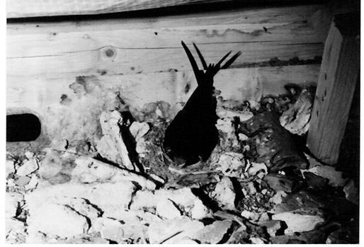 NABU-Archivbild eines brütenden Mauerseglers im Dachstuhl des Strandhotels